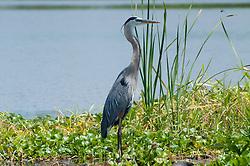 Great Blue Heron (Ardea herodias), Blue Cypress Lake, Vero Beach, Florida, US