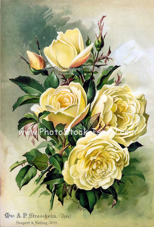 Hand painted and coloured Bouquet of yellow roses 1900. Rosen-Zeitung, Organ des Vereins Deutscher Rosenfreunde, 1887 [Periodical of the German Rose Society (Vereins Deutscher Rosenfreunde)] by C. P. Strassheim