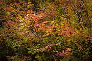 Autumn leaves in the Teton Mountains in Grand Teton National Park, Wyoming
