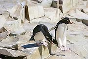 Rockhopper penguins Hop from rock to rock. Rockhopper penguins nest in steep rocky places.