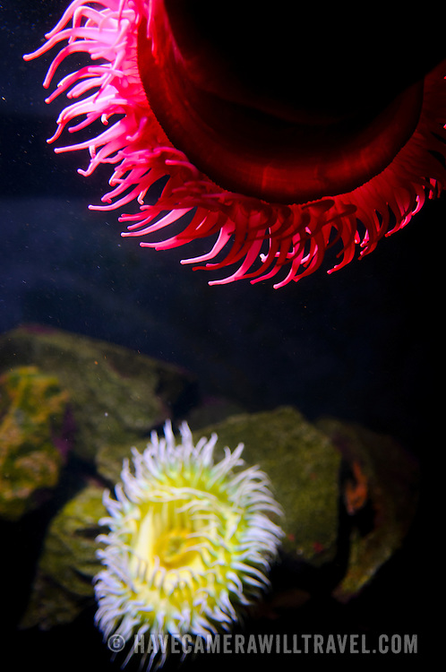 Brightly colored sea anemones in an exhibit at Washington DC's National Aquarium. The National Aquarium is in the basement of the Department of Commerce Building, where it has been housed since 1932. Much smaller and less well known than its affiliated facility in Baltimore, Washington's National Aquarium consists of a series of tanks illustrated various types of marine environments, with special emphasis on the many marine sanctuaries in U.S. marine territory.
