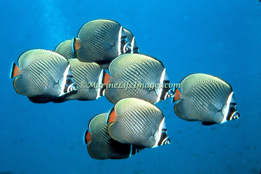 White Collar Butterflyfish inhabit reefs, occasionally form large schools. Picture taken Maldives.