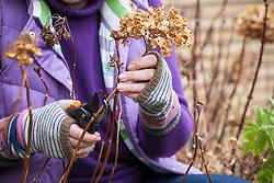 Pruning hydrangeas in spring - removing last year's flower stems.