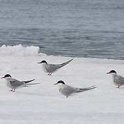 Arctic terns on ice pack. Svalbard, Norway