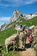 Hikers meet cows at Rotsteinpass (2120 m) in Switzerland, Europe. In the background, a transmission tower caps Säntis (2502 m), the highest mountain in the Alpstein massif of northeastern Switzerland, and highest of the Appenzell Alps. Appenzell Innerrhoden is Switzerland's most traditional and smallest-population canton (second smallest by area).