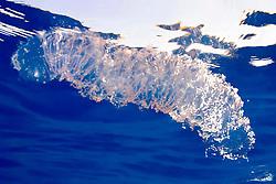 egg mass, possibly of a species of open ocean squid, called diamond squid, or diamondback squid, Thysanoteuthis rhombus, offshore, Kona, Big Island, Hawaii, Pacific Ocean