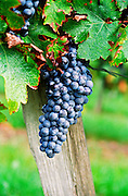 A bunch of grapes ripe merlot on a vine with leaves leaf in Bergerac, near Bordeaux, Bordeaux Gironde Aquitaine France, Europe