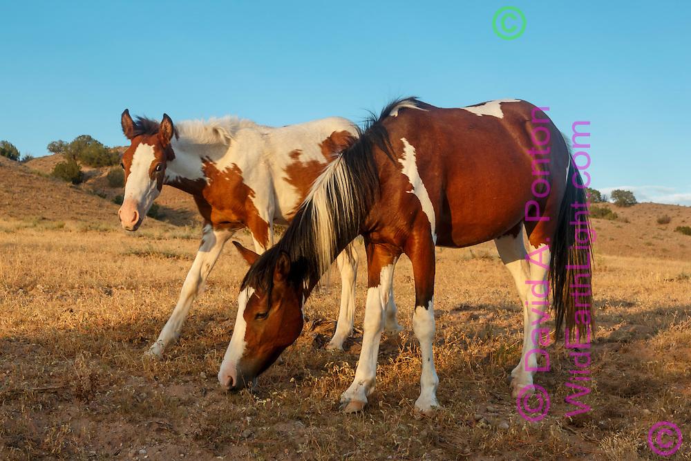 Mustangs grazing along hilly arid land near Placitas, New Mexico, © David A. Ponton