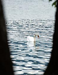 THEMENBILD - ein Höckerschwan (Cygnus) am Zeller See , aufgenommen am 10. Mai 2018, Zell am See, Österreich // a Mute Swan (Cygnus) at the Zeller See on 2018/05/10, Zell am See, Austria. EXPA Pictures © 2018, PhotoCredit: EXPA/ Stefanie Oberhauser