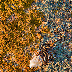 Blue mussel and lichen on the coast of Maine's Great Wass Island near Jonesport. Nature Conservancy preserve.