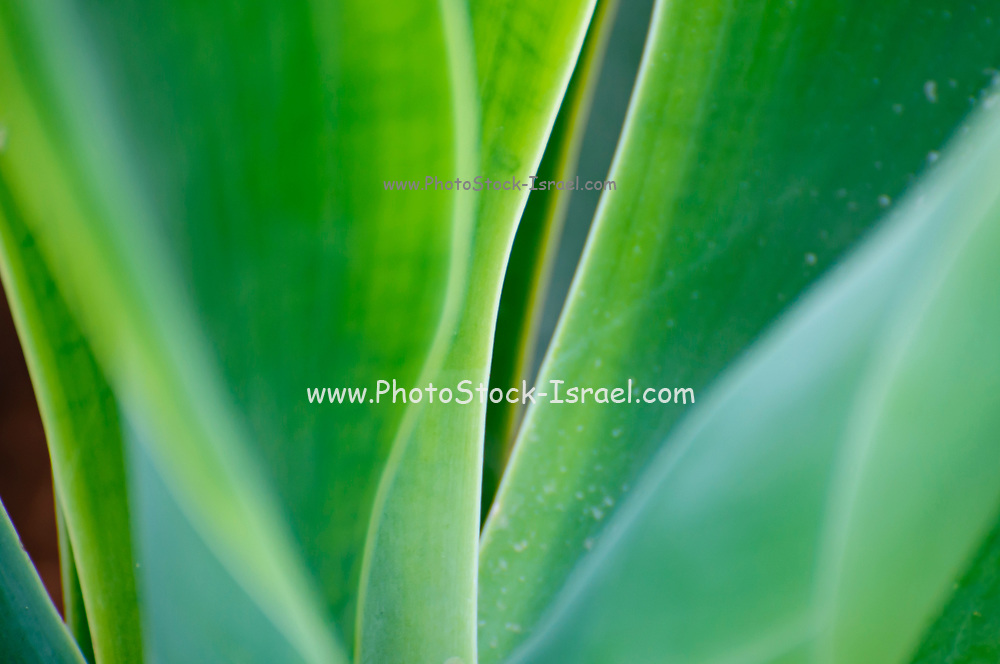 Closeup abstract of the leaves of an Agave plant