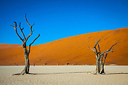 Dead Camel Thorn Trees in the Deadvlei or dead marsh, a white clay pan in the Namib Naukluft Park, Namibia, Africa
