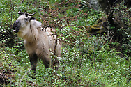 Adult Golden Takin, Budorcas taxicolor, photographed standing in a forest in Tangjiahe National Nature Reserve, NNR, Qingchuan County, Sichuan province, China