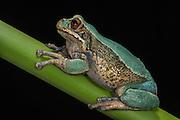 Marsupial Frog (Gastrotheca litonedis)<br /> Cuenca <br /> Azuay<br /> Andes<br /> ECUADOR, South America<br /> IUCN STATUS: <br /> RANGE: <br /> captive