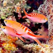 Lori's Anthias inhabit reefs. Picture taken Fiji.