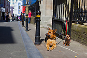 Dogs on Main Street in Wexford, Ireland