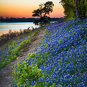 Bluebonnets at Grapevine Lake in North Texas. Lupinus texensis, the Texas bluebonnet, is a species of lupine endemic to Texas. With other related species of lupines also called bluebonnets, it is the state flower of Texas. It is a biennial plant which begins its life as a small, gravel-like seed. The seed has a hard seed coat that must be penetrated by wind, rain, and weather over the course of a few months (but sometimes several years). In the fall, the bluebonnets emerge as small seedings with two cotyledons, and later a rosette of leaves that are palmately compound with 5-7 leaflets 3-10 cm long, green with a faint white edge and hair. Growth continues over the mild winter months and then in the spring will take off and rapidly grow larger, before sending up a 20-50 cm tall plume of blue flowers (with bits of white and occasionally a tinge of pinkish-red). The scent of these blossoms has been diversely described; many people say they give off no scent at all, while a few have described the scent as 'sickly sweet'. It has been found in the wild with isolated mutations in other colors, most notably all-white flowers, pink, and maroon. These mutations have since been selectively bred to produce different color strains that are available commercially.