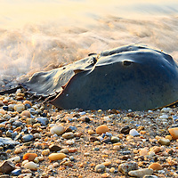 A spawning Atlantic horseshoe crab (Limulus polyphemus) returns to the Delaware Bay at sunrise after an evening of spawning, Slaughter Beach, Delaware.