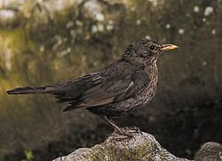 THEMENBILD - eine Amsel (Turdus merula) oder Schwarzdrossel steht auf einem Stein. Sie ist eine Vogelart der Familie der Drosseln (Turdidae), aufgenommen am 30. Mai 2019, Kaprun, Österreich // a blackbird (Turdus merula) or blackbird stands on a stone. It is a bird of the Turdidae family on 2019/05/30, Kaprun, Austria. EXPA Pictures © 2019, PhotoCredit: EXPA/ Stefanie Oberhauser