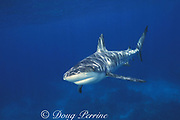 Caribbean reef shark, Carcharhinus perezi, approaches the photographer just prior to biting him near Chub Cay, Bahamas ( Atlantic ) - one of very few cases of shark attack where the victim got a photo of the shark; incident provoked by spearfishing