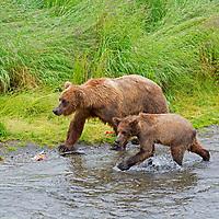 USA, Alaska, Katmai. A mother brown bear teaches cub survival and fishing at Brooks Falls, Katmai National Park.