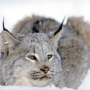 Canada Lynx, (Lynx canadensis) Montana. Portrait. Winter.Captive Animal.