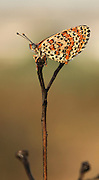 Lesser Spotted Fritillary (Melitaea trivia) Butterfly Photographed in Israel, Spring May