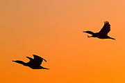 Pair of Double-Crested Cormorants in fight as silhouette at sunrise.(Phalacrocorax auritus).Bolsa Chica Wetlands,California
