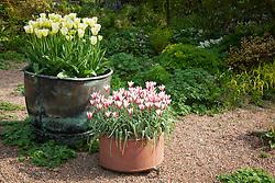 Pots at Glebe Cottage. Tulipa 'Spring Green' and Tulipa clusiana