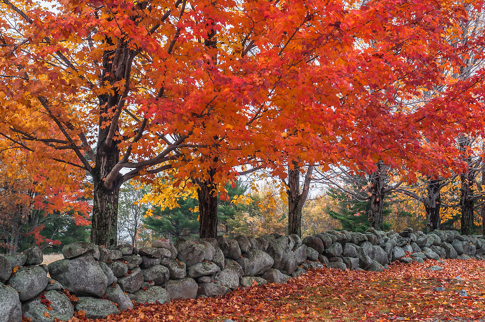 Sugar maple trees in bright fall color along stonewall in autumn, Moultonborough, NH