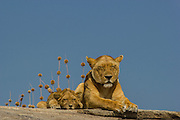 Lioness with cubs, part of a pride, Serengeti National Park, Tanzania.