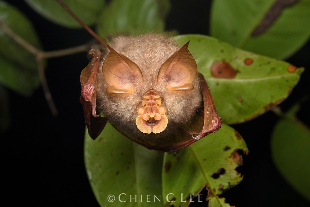 A view of a hanging Trefoil Horseshoe Bat (Rhinolophus trifoliatus) from below reveals its remarkable face. The elaborate noseleaves help the bat to focus its echolocation calls, with the various parts shaped for different frequencies. Sabah, Malaysia (Borneo).