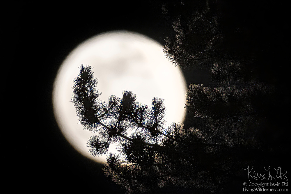 The full moon rises through the branches of an evergreen tree in Snohomish County, Washington.