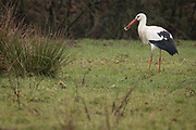 White storks (Ciconia ciconia) hunting for food in wetland. Sussex, UK.