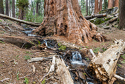Forest floor detail in the giant Sequoia Redwoods of Kings Canyon National Park.