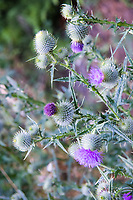 Angiosperms, Asteraceae, Asterids, beautiful, beauty, biennial, bloom, blooming, blooms, blossom, blossoms, botany, bud, bull thistle, Carduoideae, Cirsium, Cirsium vulgare, color, common thistle, Cynareae, dicot, flora, flower, flowers, forb, fresh, green, herb, invasive, native, natural, nature, non-native, Olympia, Onopordum acanthium, pink, plant, Plantae, plants, ruderal, Scotch thistle, Scottish thistle, spear thistle, summer, thistle, Thurston County, vulgare, Washington, west coast, wild, wildflower, wildflowers, Woodard Bay Conservation Area