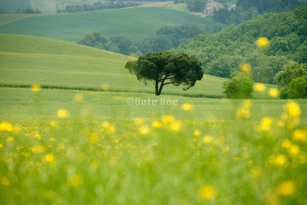 lone tree standing a colza meadow field in the Languedoc Aude France