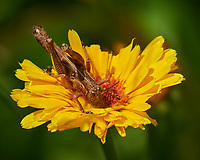 Grasshopper Feeding on a Yellow Flower. Image taken with a Nikon D850 camera and 105 mm f/2.8 VR macro lens + 2.0III TC-E
