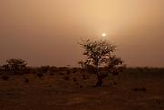 Desert Sunrise. Sun rises behind a lone silhouette of an Acacia tree in wadi Rum desert in Jordan