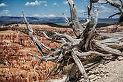 Old tree at Bryce Canyon National Park, Utah, USA