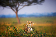Cheetah resting in front of an Acacia tree in the Serengeti, Tanzania