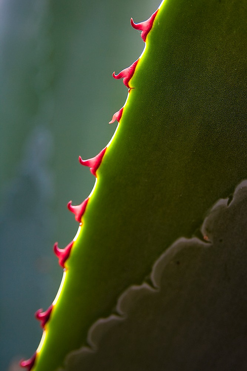 Detail of the red spines on a maguey plant in the Sierra Norte Mountains, Oaxaca state, Mexico.