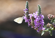 Selective focus of a Large White or Cabbage White (Pieris brassicae) Butterfly on a purple lavender flower Photographed in Israel, in August