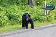 A black bear hangs out near a mailbox in Barnes, Wisconsin.