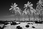 An infrared picture of palm trees on a rocky beach on the Big Island of Hawaii.