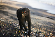 A male Celebes Crested Macaque ( Macaca nigra ) walking on a black sand beach, Sulawesi, Indonesia