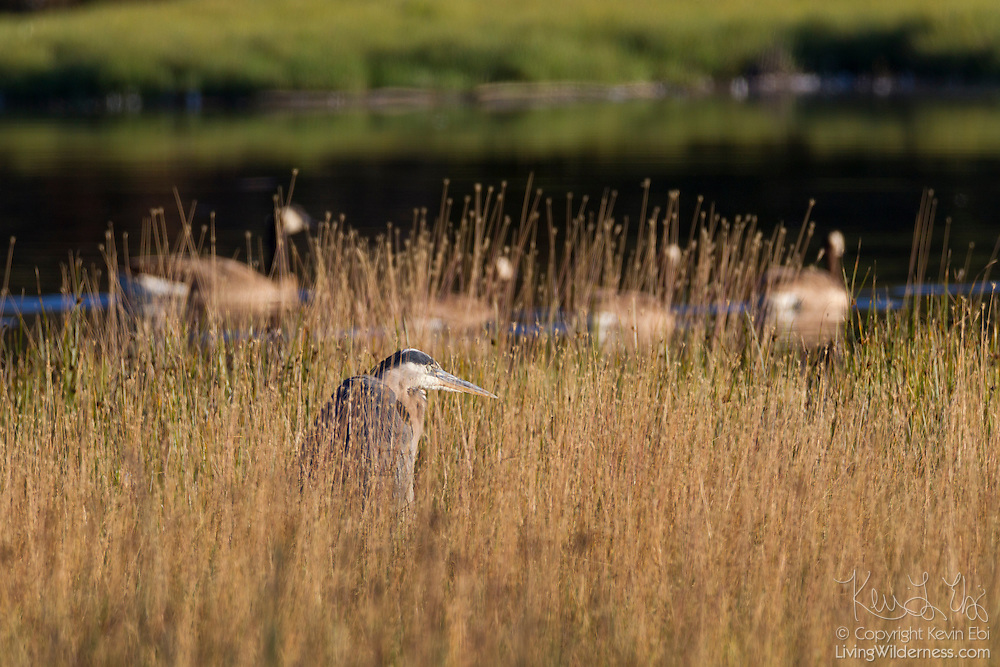 A great blue heron (Ardea herodias) hides and rests in the reeds of the Edmonds Marsh in Edmonds, Washington, as four Canada geese swim by.