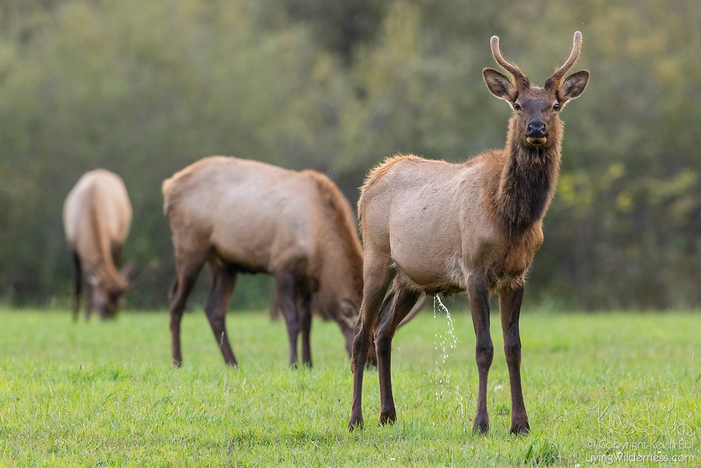 An elk (Cervus canadensis) cow pees in a field in North Bend, Washington. Elk are also known as wapati.