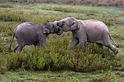 Young Indian elephants fighting. Kaziranga NP, Assam, India.