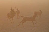 Stag chasing a female, Père David's deer, or Milu, Elaphurus davidianus, Hubei Tian'ezhou Milu National Nature Reserve, Shishou, Hubei, China. The dominant harem-keeping stag in the herd.
